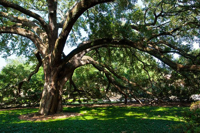 In 2013, LSU was nationally recognized for its historic live oaks.