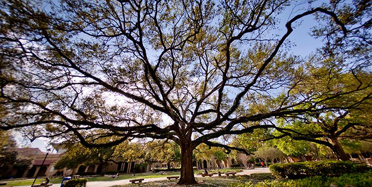 LSU Oak, photographed by Jim Zietz.