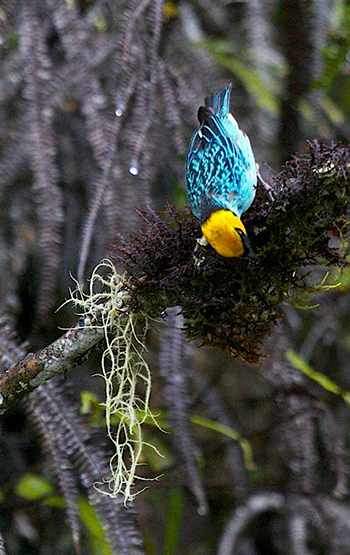 This Saffron-headed Tanager is one of the 354 bird species the LSU team spotted on their record-breaking Big Day.